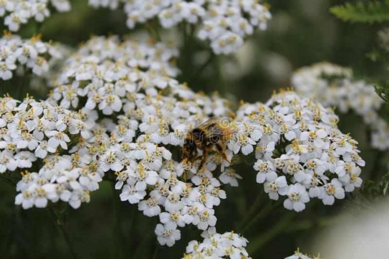 Pszczoła zbiera nektar od kwiatów zdjęcie stock