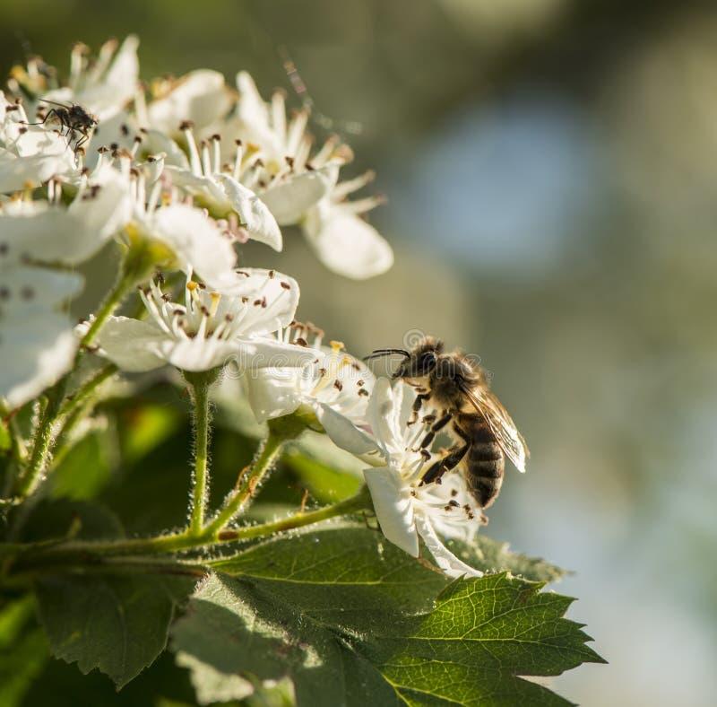 Pszczoła zbiera nektar od kwiatów głóg fotografia royalty free