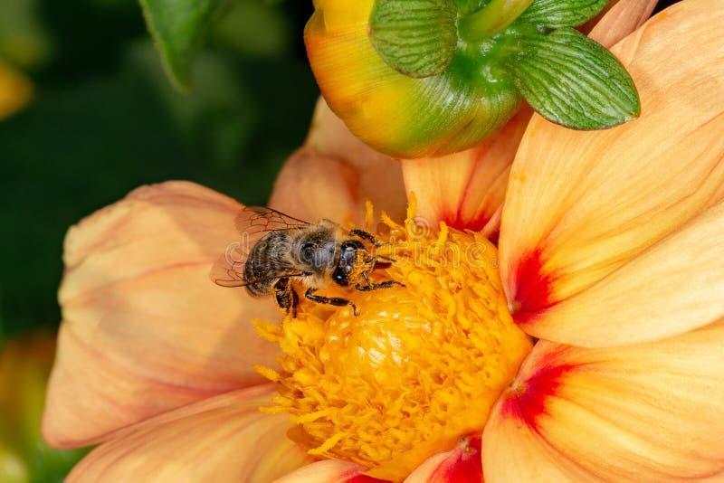 Pszczoła zbiera nektar od kwiatu zdjęcia royalty free