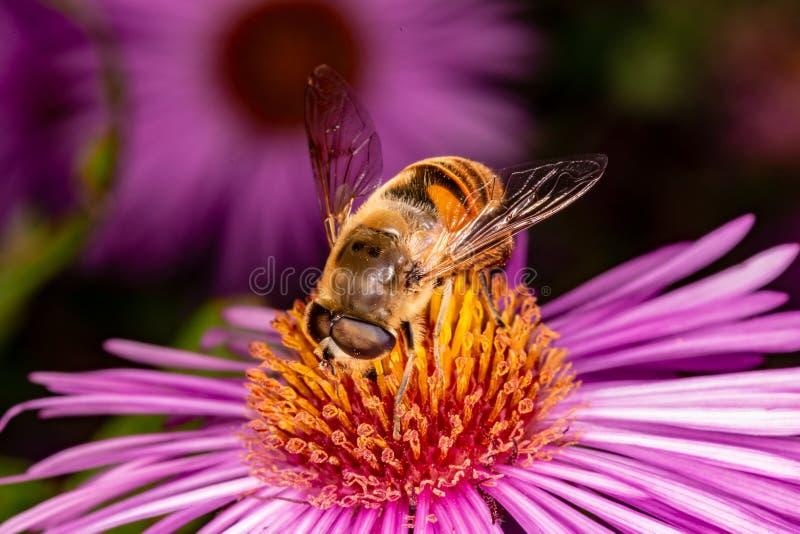 Pszczoła zbiera nektar od kwiatu fotografia royalty free
