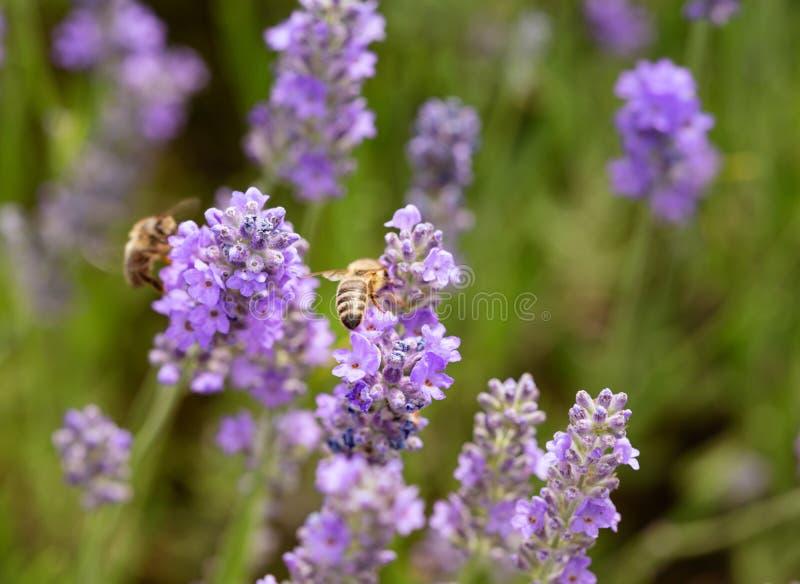 Pszczoła zbiera nektar od lawendowych kwiatów obrazy stock