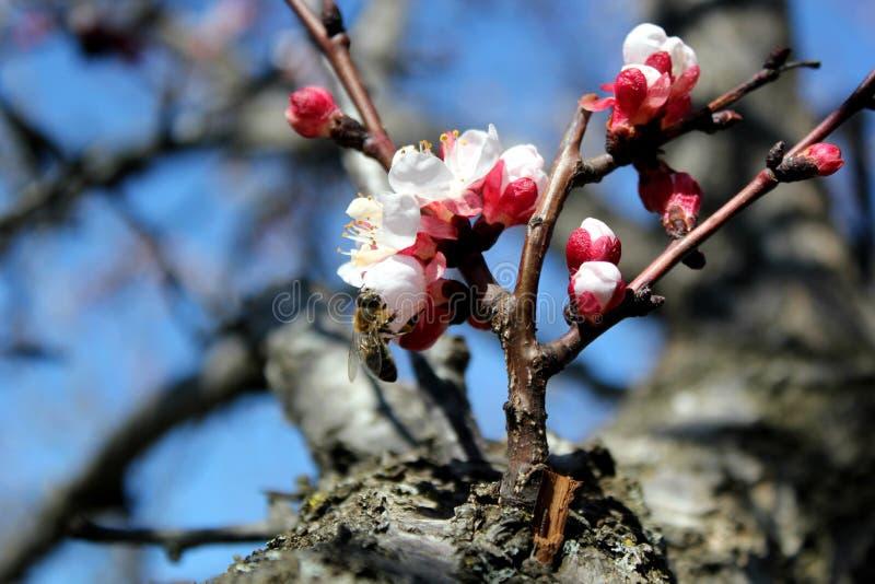 Pszczoła zbiera nektar od morelowych kwiatów, śliwka kwitnie w wiośnie z różowymi płatkami i płatkiem jaskrawym czerwień kwiatów, zdjęcia stock