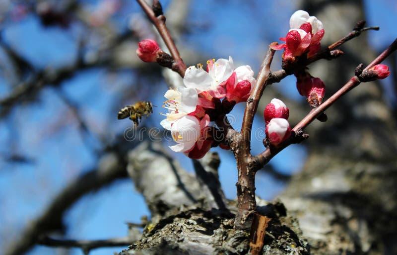 Pszczoła zbiera nektar od morelowych kwiatów, śliwka kwitnie w wiośnie z różowymi płatkami i płatkiem jaskrawym czerwień kwiatów, zdjęcie stock