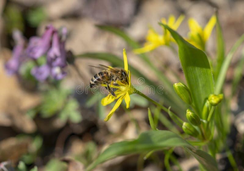 Pszczoła zbiera nektar od pierwiosnku w wczesnej wiośnie zdjęcia stock