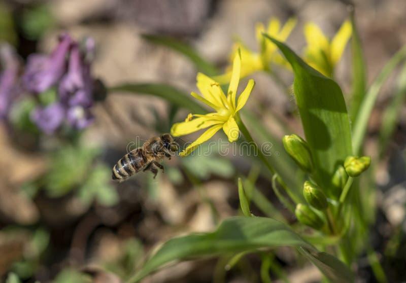Pszczoła zbiera nektar od pierwiosnku w wczesnej wiośnie obrazy stock