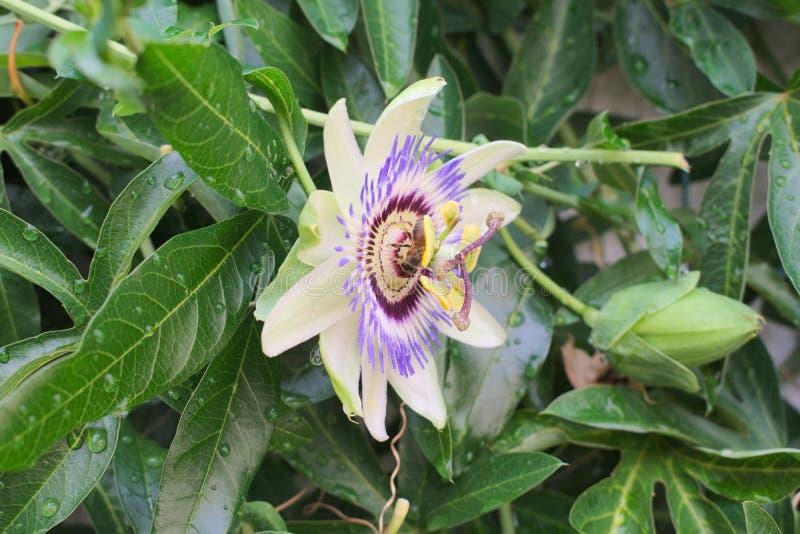 Pszczoła zbiera nektar od Purpurowego Pasyjnego kwiatu w pełnym kwiacie fotografia stock