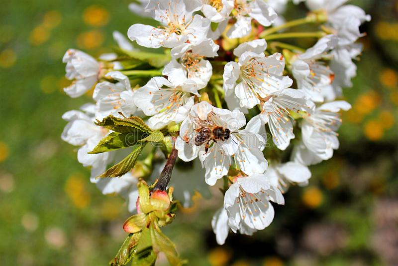 Pszczoła zbiera nektar w wiosna ogródzie fotografia royalty free