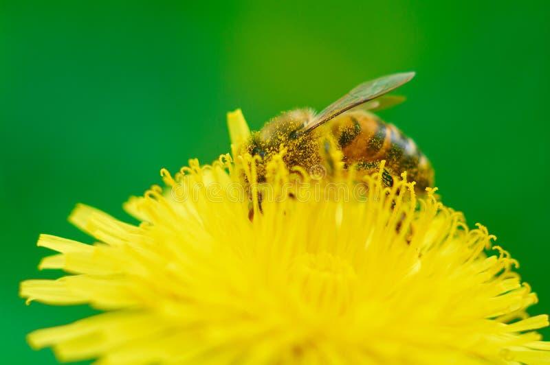 pszczoła zbiera pollen obrazy royalty free