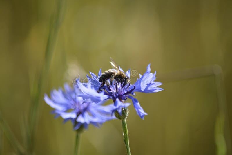 pszczoła zbiera pollen zdjęcia royalty free