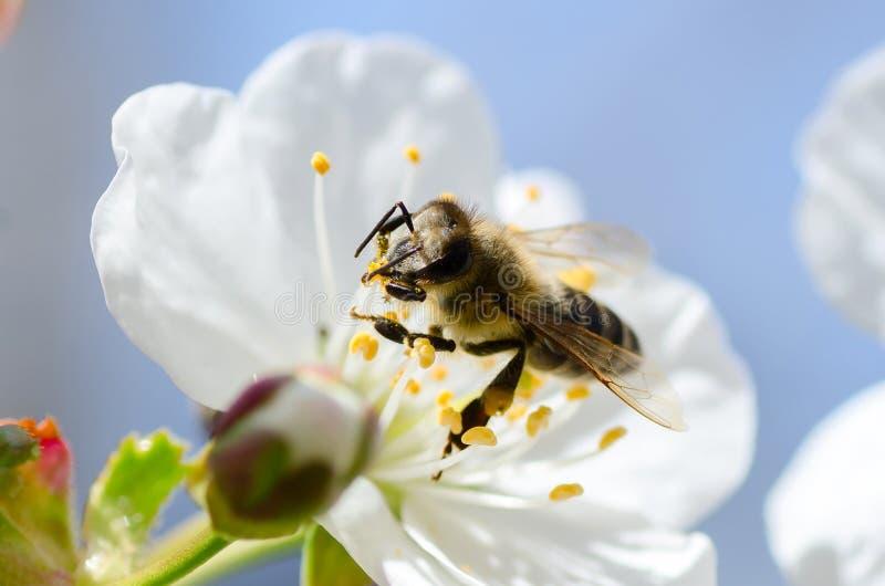 Pszczoła zbiera pollen i nektar na wiśni drzewie obrazy stock
