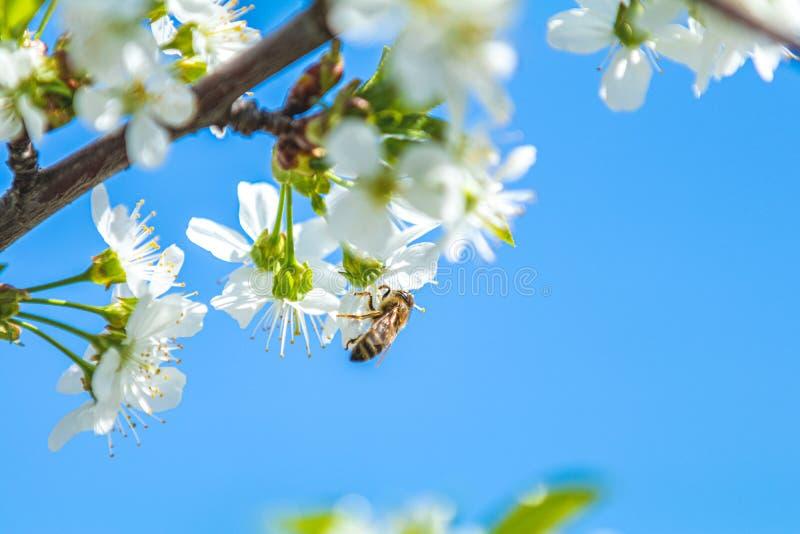 Pszczoła zbiera pollen i nektar od gałąź w ogródzie czereśniowy okwitnięcie zdjęcia royalty free