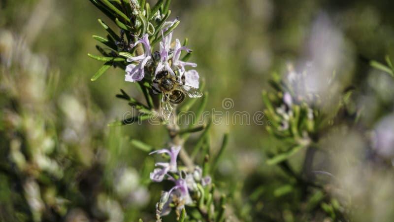 Pszczoła zbiera wartościowego pollen 2 zdjęcie stock