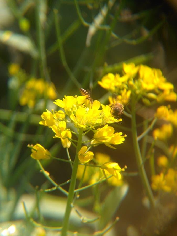 pszczoły 🠐  zbiera miód od kwiatu zdjęcie royalty free
