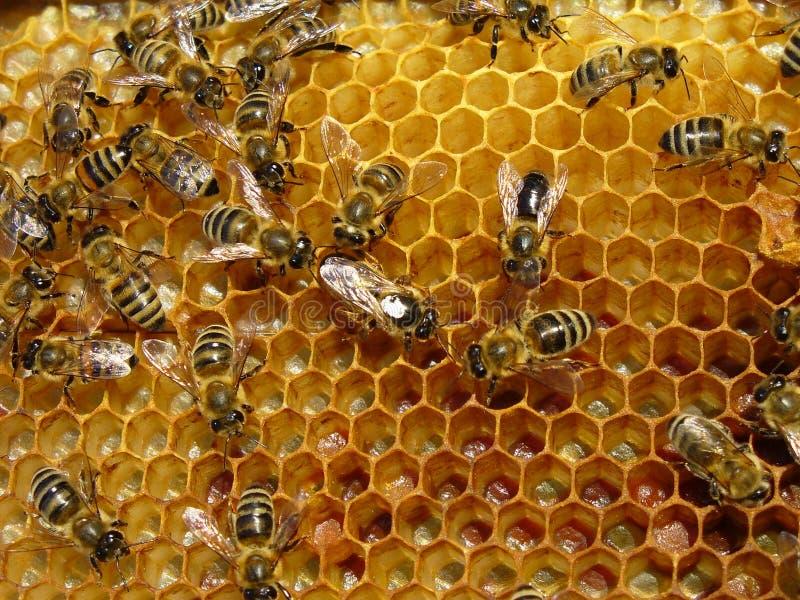 pszczoły obrazy royalty free