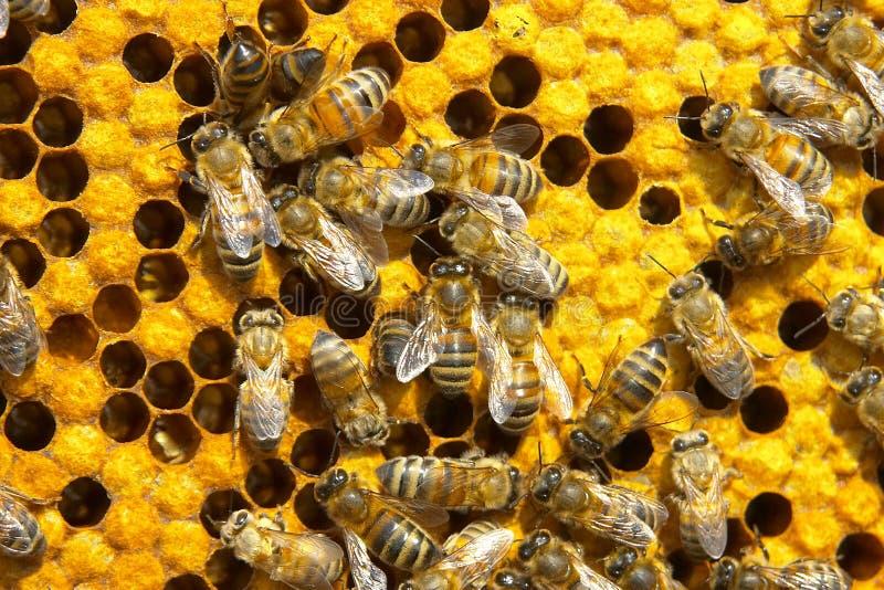 pszczoły obrazy stock