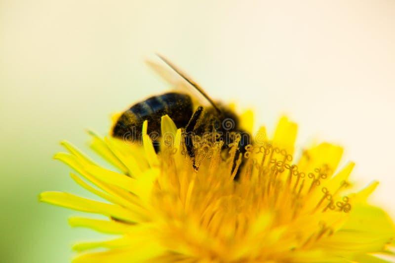 pszczoły dandelion obraz stock