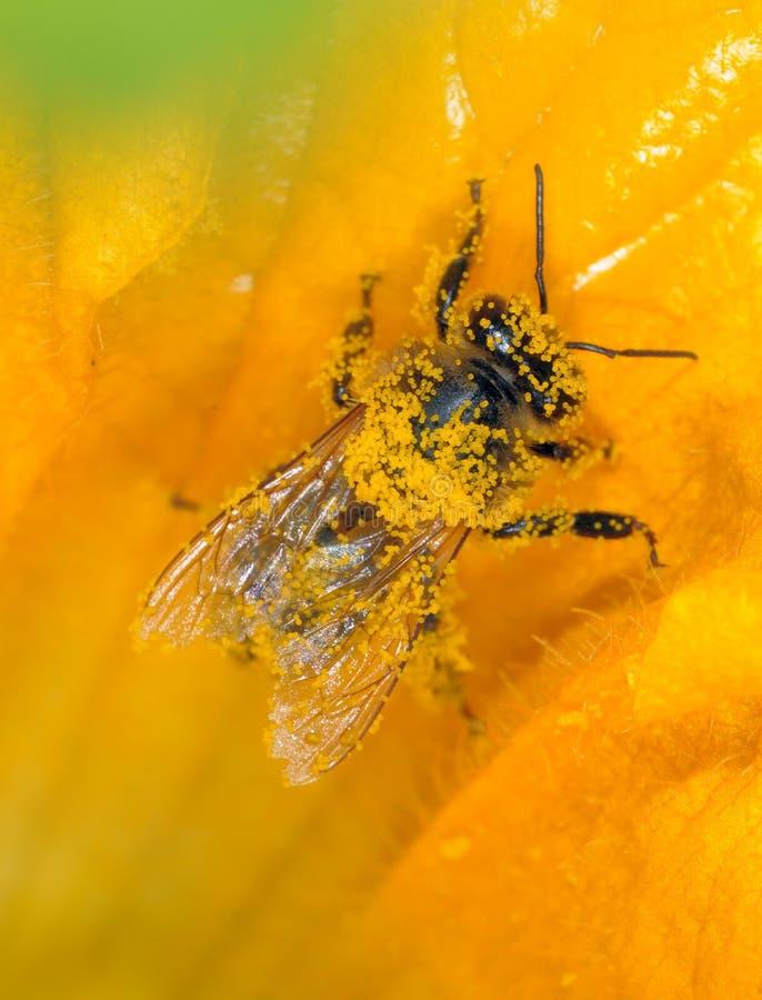 pszczoły działanie obrazy stock