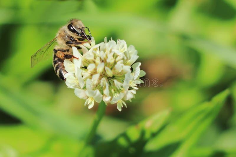 PszczoÅ'y europejskie lub zachodnie pszczoÅ'y miodne zapylajÄ… koniczynÄ™ biaÅ'Ä… Trifolium repensuje kwiat na Å'Ä…ce zdjęcie stock