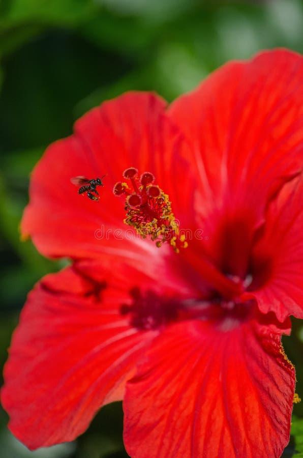 Pszczoły gromadzenia się nektar obrazy royalty free