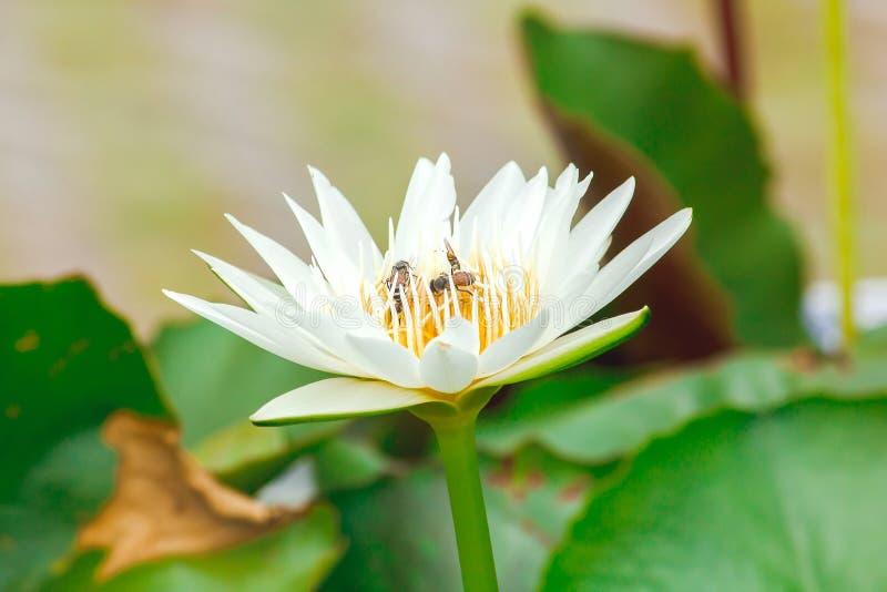 Pszczoły i biali lotosowi kwiaty kwitną zdjęcia royalty free