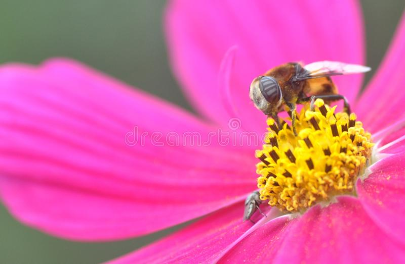 Pszczoły i purpura kwiaty zdjęcie royalty free