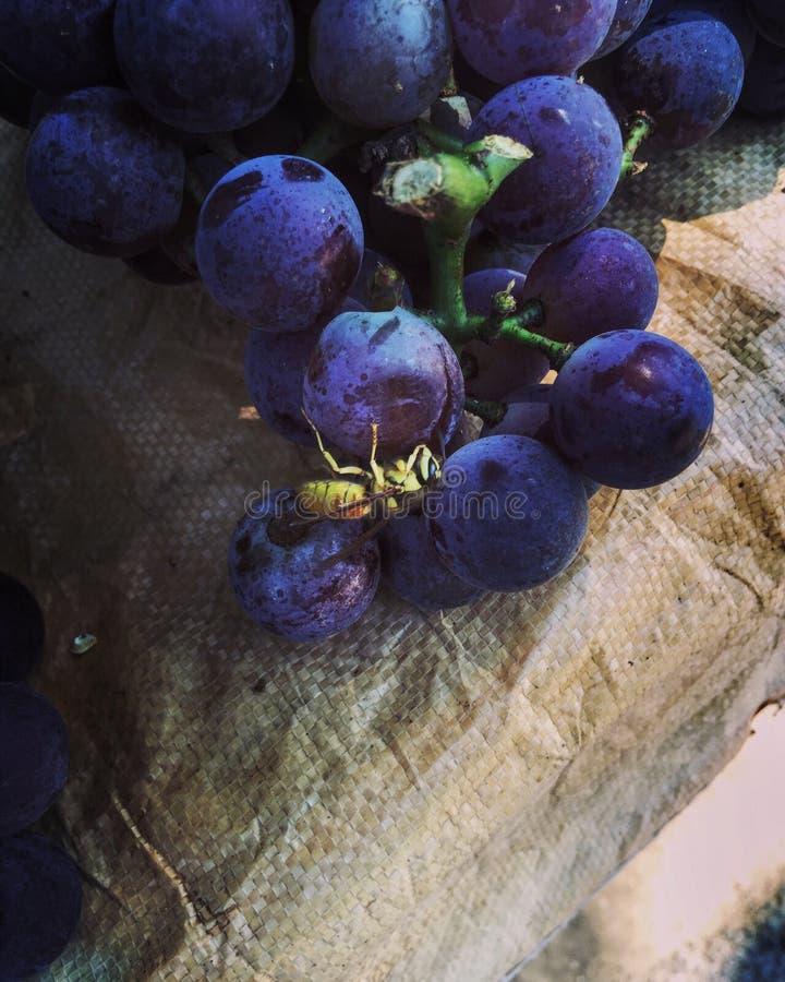 Pszczoły i winogrona obrazy stock