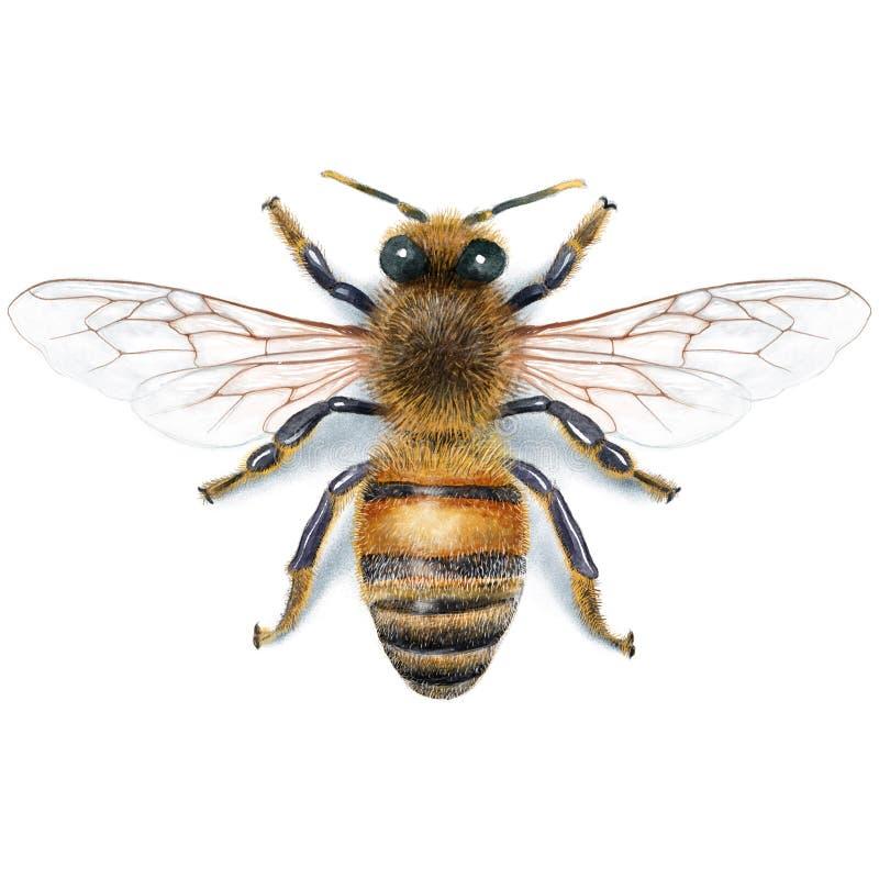Pszczoły ilustracja, watercolour, rysunek, atrament, realistyczny obrazy royalty free