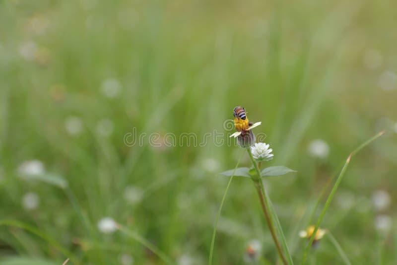 Pszczoły jedzą miód obrazy stock