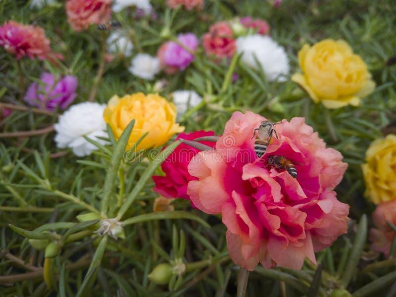 Pszczoły jedzą nektar od pollen w ogródzie zdjęcia royalty free