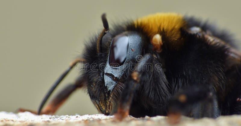 Pszczoły Jedzące Surowe Miód zdjęcie stock