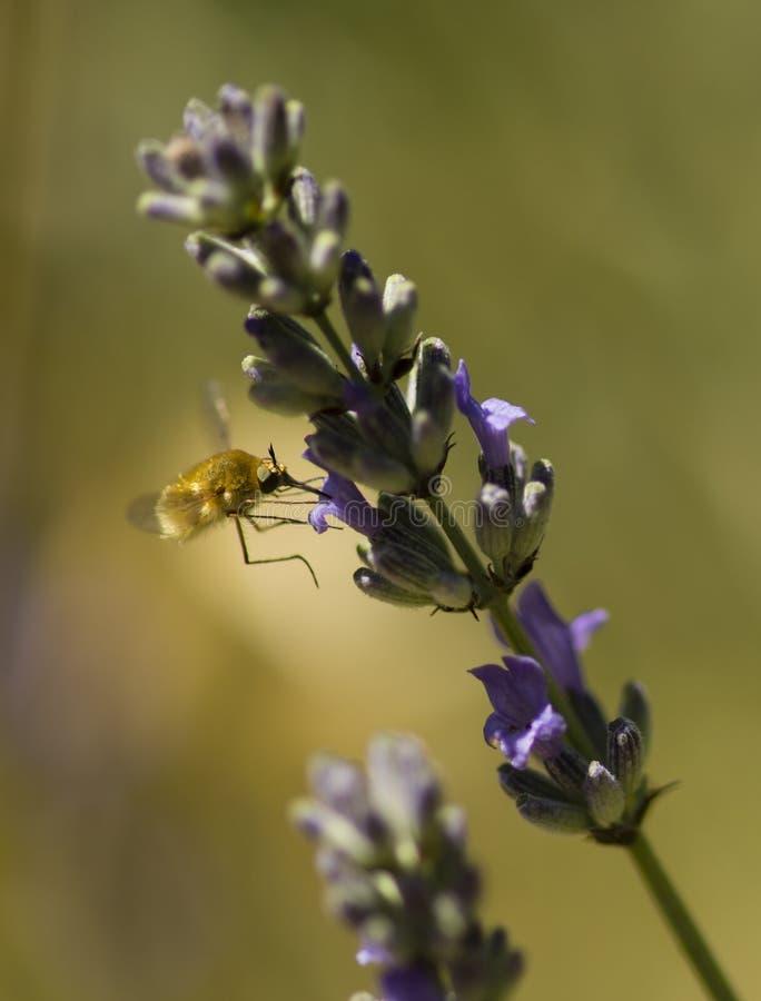 Pszczoły komarnica unosi się na kwiatach lavander zdjęcia royalty free