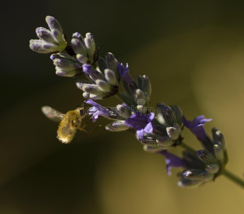 Pszczoły komarnica unosi się na kwiatach lavander zdjęcie stock