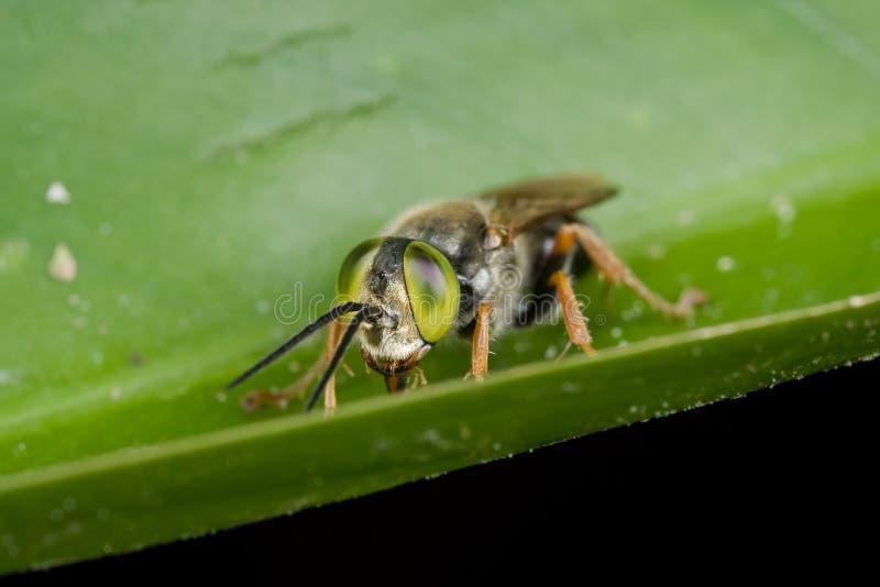 pszczoły kukułka przyglądająca się zieleń zdjęcia royalty free