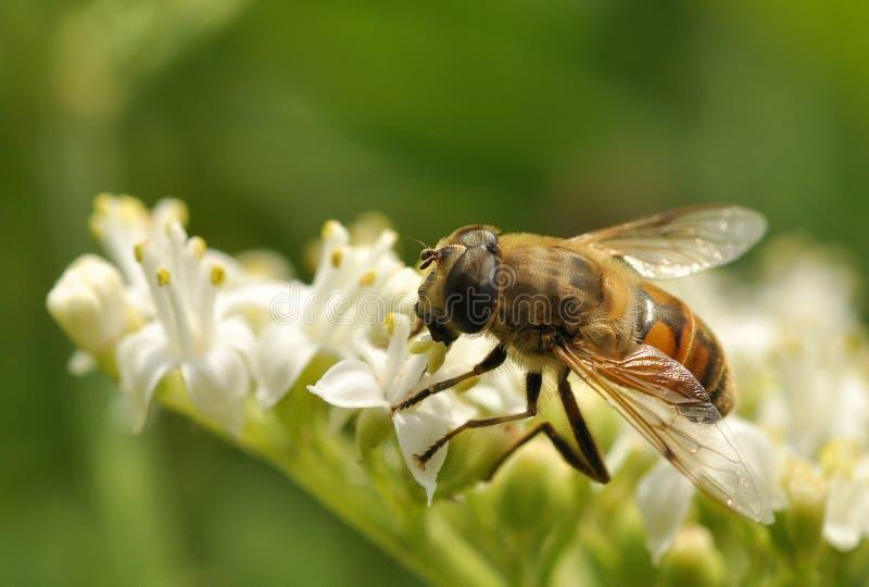 pszczoły kwiatu biel obraz royalty free