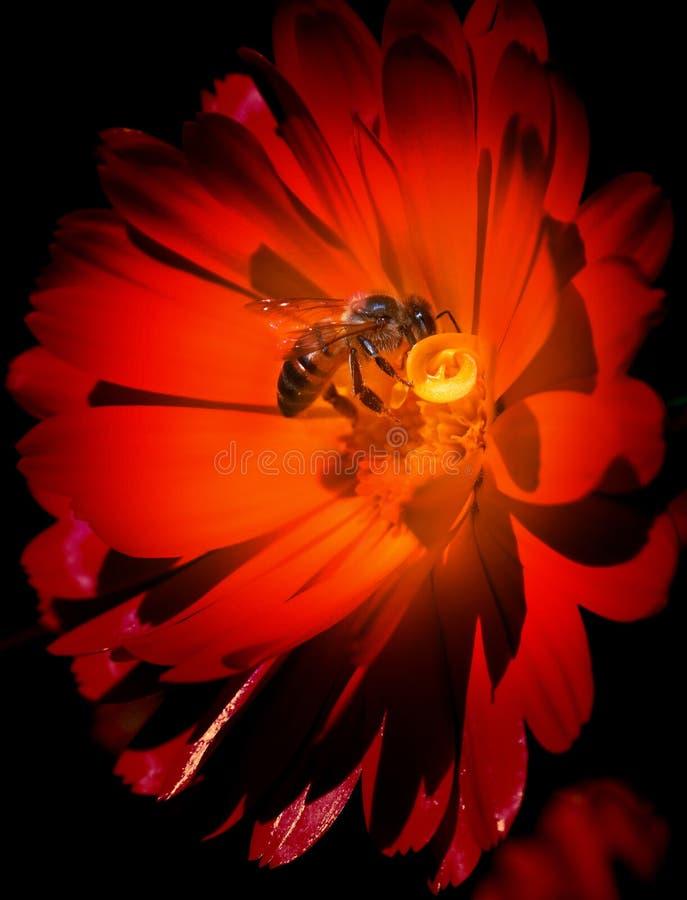 pszczoły kwiatu czerwień zdjęcie stock
