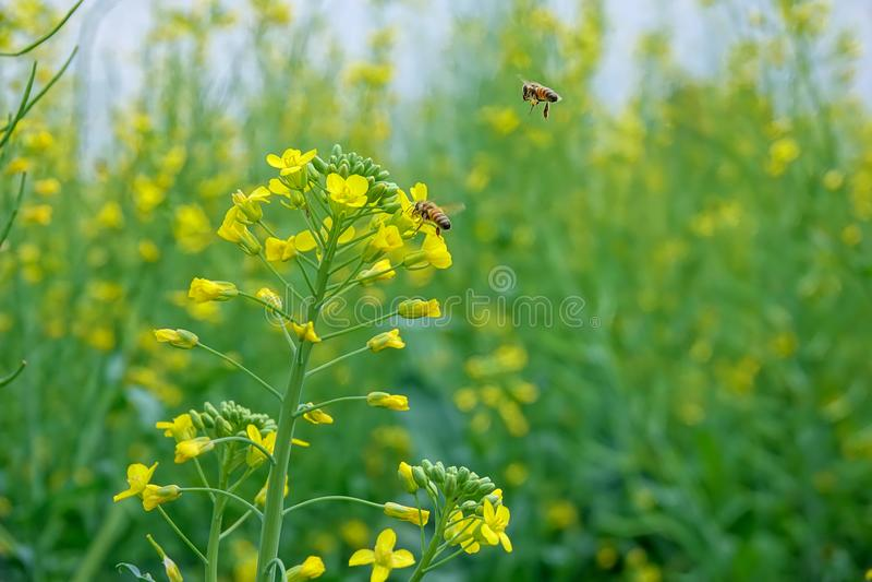 pszczoły kwiatu gwałt obrazy stock