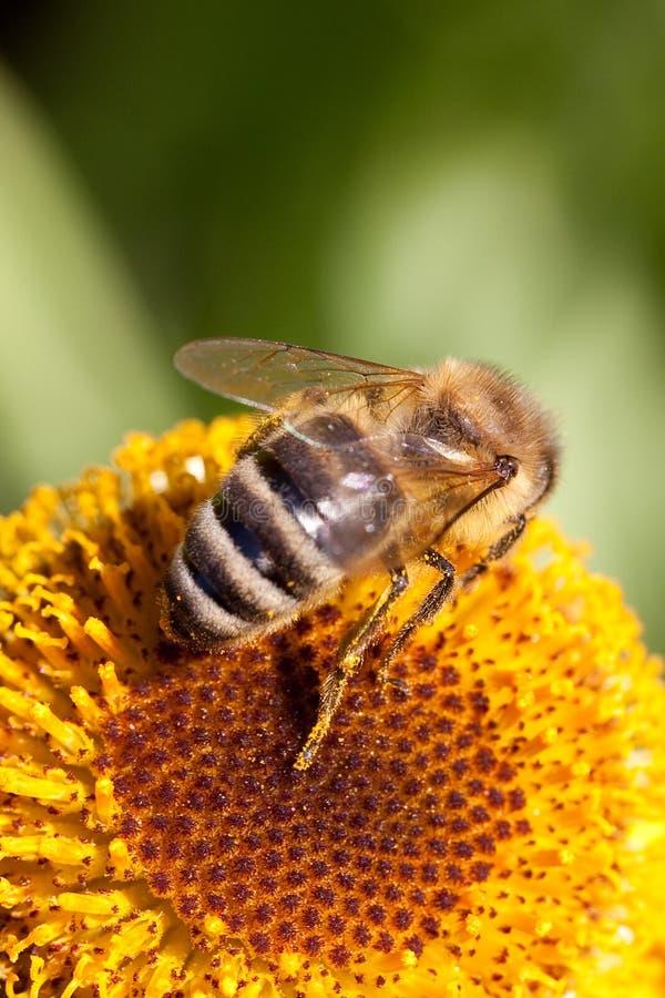pszczoły kwiatu kolor żółty obrazy royalty free