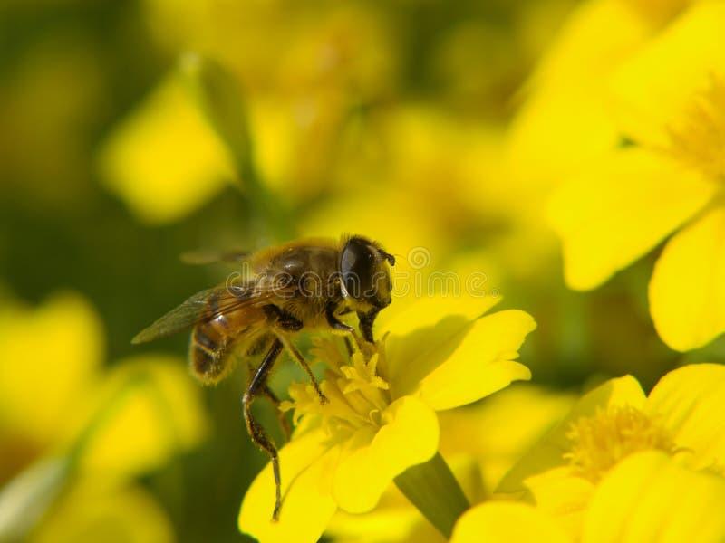 Download Pszczoły Kwiatu Miodu Kolor żółty Obraz Stock - Obraz złożonej z flory, kwiat: 13326871