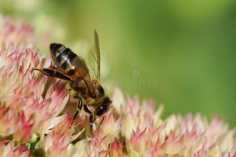 Pszczoły lat Anthophila zbiera nektar na kwiatach Sedum prominentu lat Hylotelephium spectabile, Sedum spectabile inny zdjęcia royalty free