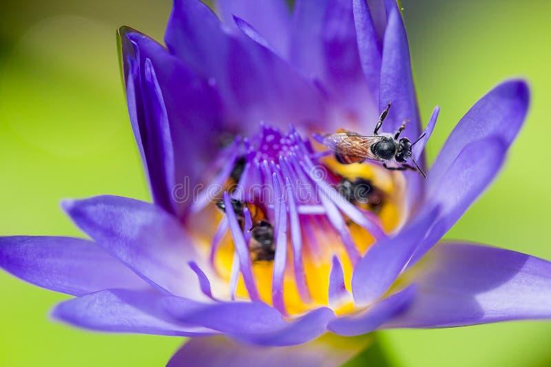 Pszczoły lata w purpurowym lotosowym kwitnieniu zdjęcia royalty free