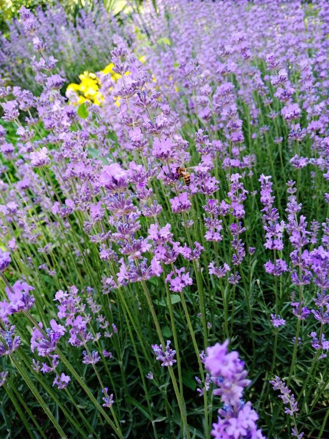 Pszczoły latanie wokoło lawendowego kwiatu fotografia royalty free
