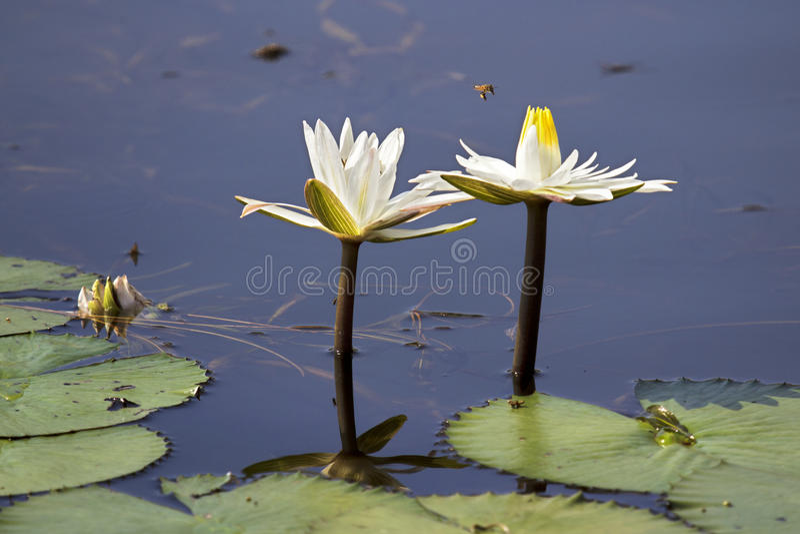 pszczoły lillies woda zdjęcie royalty free