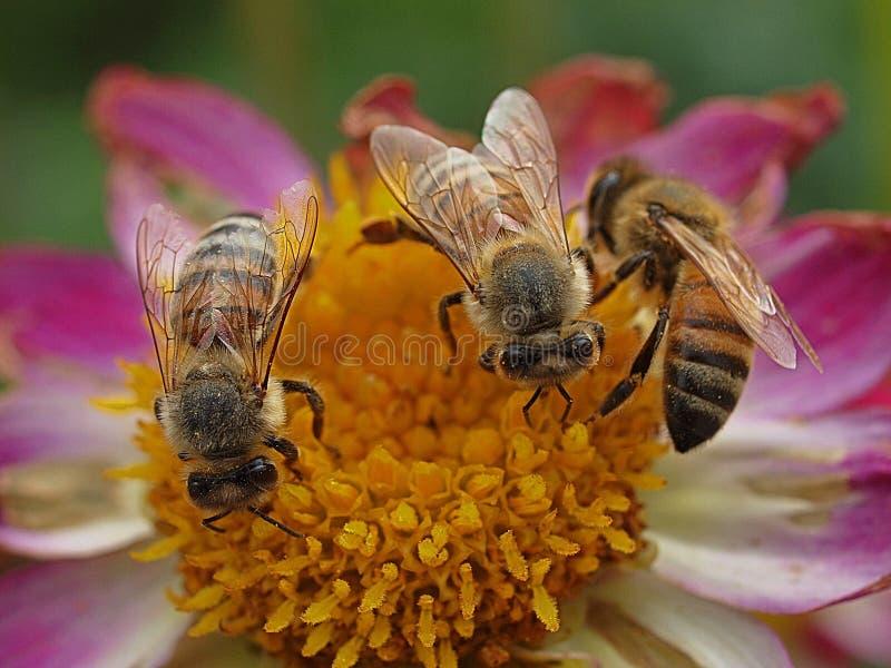 Pszczoły miodne pracujące w zespole zdjęcie stock
