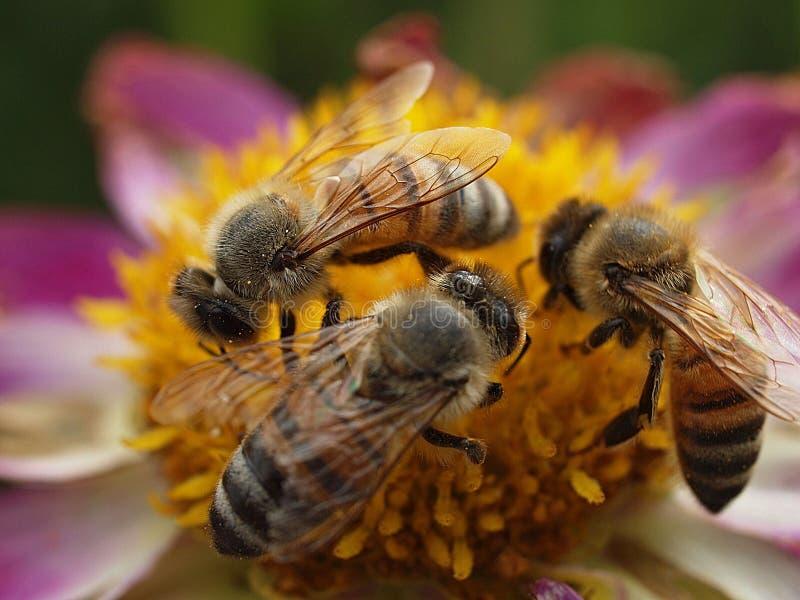 Pszczoły miodne pracujące w zespole fotografia stock