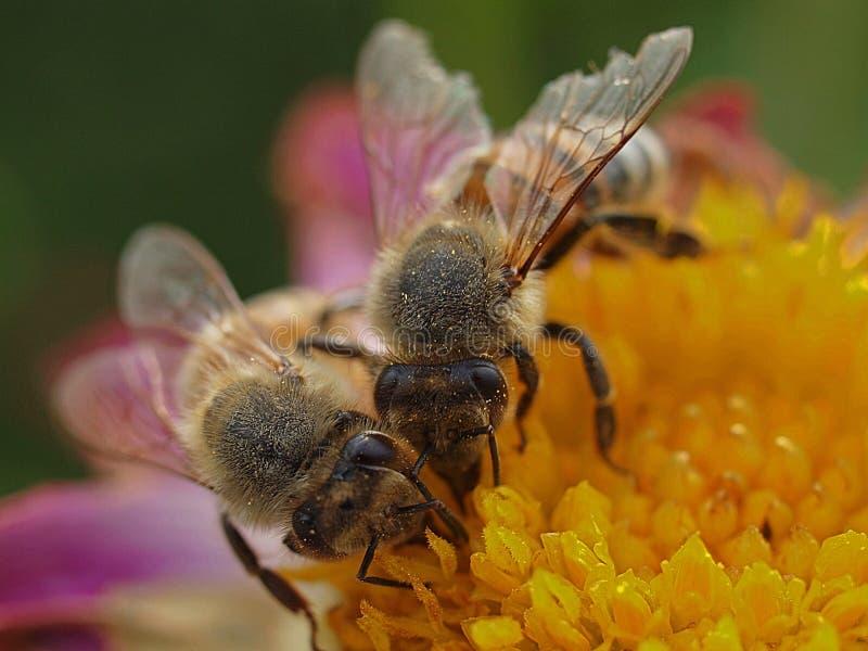 Pszczoły miodne pracujące w zespole obrazy stock
