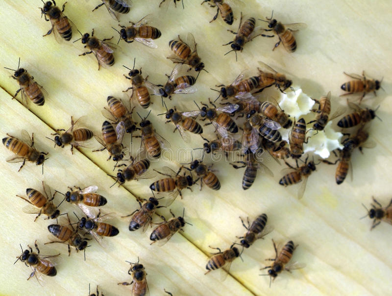 pszczoły miodowe zdjęcia royalty free
