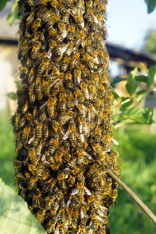 pszczoły mrowie fotografia stock