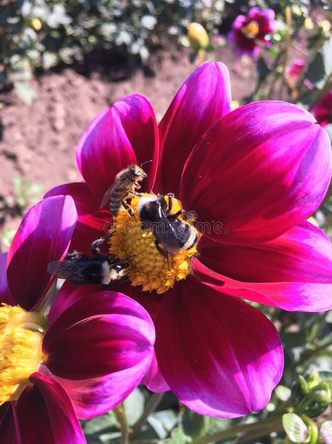 Pszczoły na dalii zdjęcia stock