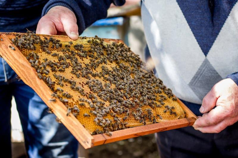 Pszczoły na honeycomb ramie Praca pszczelarka w apiary_ obraz stock