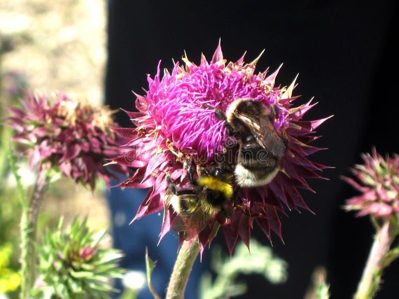 Pszczoły na koniczynowym kwiacie obrazy stock